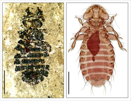 Louse Family Tree Illuminates Cretaceous Evolution [Picture: Megamenopon rasnitsyni, left, a fossil bird louse that is 44 million  years old, and its extant close relative, Holomenopon brevithoracicum]