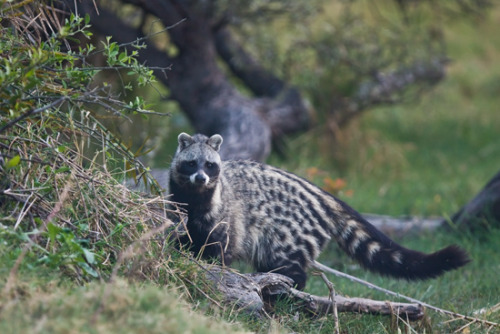 AFRICAN CIVET (Civettictis civetta) © Grant Atkinson This is the photo that had me barking up the wrong tree. Looks like a raccoon, but not quite, doesn't it? Body's wrong but the face isn't that far off.  The African Civet is a solitary mammal that is easily recognizable by its unique coloration; the black and white stripes and blotches covering the coarse pelage of the animal are extremely variable and allow it to be cryptic. The black bands surrounding the African Civet's eyes closely resemble those to the raccoon.  Other distinguishing features of the African Civet are its  disproportionately large hindquarters and its erectile dorsal crest. The African Civet is an omnivorous generalist, taking small vertebrates, invertebrates,  eggs, carrion, and vegetable matter. It is capable of taking on  poisonous invertebrates (such as the millipedes most other species  avoid) and snakes. Prey is primarily detected by smell and sound rather than by sight. Fact Source: http://en.wikipedia.org/wiki/African_Civet Other photos you may enjoy: Malay Civet Binturong Striped Civet —- Thanks everyone for your responses, as you can see, I can't always figure these things out on my own. I've learned SO MUCH about the animal world by moderating this blog. Keep me honest, if I'm wrong please let me know. If there are animals I haven't covered that you think I should drop me a line and I'll look into it. And as always — Thanks!