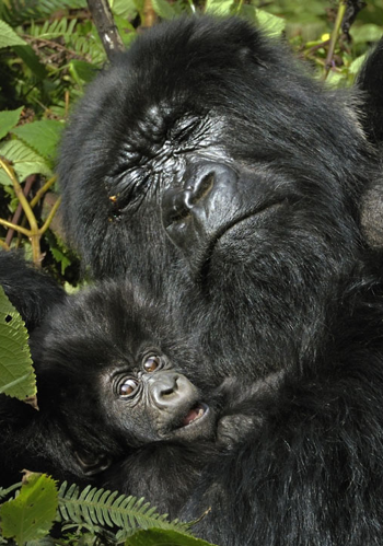 "That mama gorilla is all, ""I LOVE YOU SO MUCH"" and that baby gorilla is all, ""GOD MOM THERE ARE PEOPLE AROUND!"" Ugh, they are so the best. This picture is by Andy Rouse, a photographer who trekked with gorillas in the wild. Buy this book of awesome gorilla pictures and 25 percent of the profits are donated directly to Mountain Gorilla Veterinary Project. Also, if you ever want to trek with gorillas, I highly recommend it, as it's the most amazing best, and a way to help keep gorillas around for generations to come. When I did it (JEALOUS?), I saw a baby gorilla bang on his chest a la King Kong! It was the most amazing shit that's ever happened to me, ever. Including in my dreams. And I had a dream once where I was married to a unicorn who was also Gael García Bernal and we lived in a rainbow made of candy, OKAY?"
