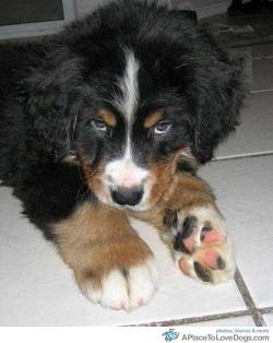 pinterest Ziggy, Bernese Mountain Dog puppy with gigantic paws. Gonna be one big dog Original Article