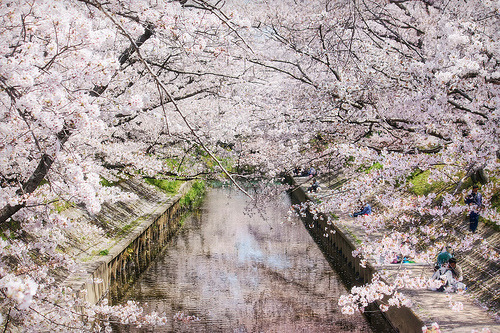 Sakura Covered River | Flickr - Photo Sharing! - plantsClip
