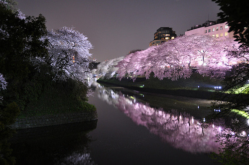 Sakura light-up at Chidoriga-fuchi in Tokyo 千鳥ヶ淵 | Flickr - Photo Sharing! - plantsClip