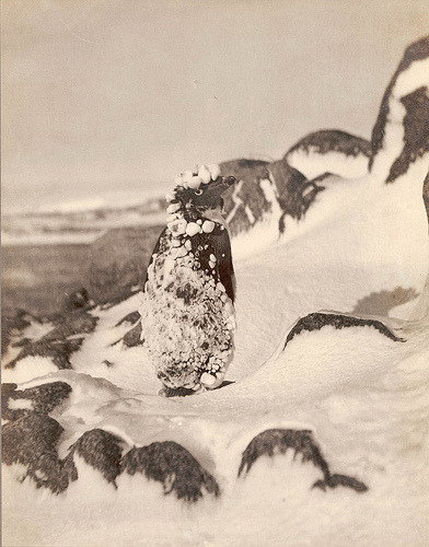 Frozen Adelie, Antarctica, 1912 / photograph by Frank Hurley (by State Library of New South Wales collection) from the First Australasian Antarctic Expedition, 1911-1914