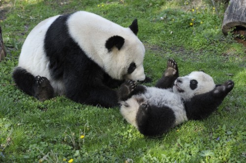 fuckyeahgiantpanda:  Yang Yang plays with her son Fu Hu at the Vienna Zoo on April 11, 2011. © Norbert Potensky.  I decided yesterday that no matter what, I HAVE to get a panda tattoo. I won't feel complete if I don't. Don't judge me Seth :) it's going to happen. It will be a small one but I'll be happy.