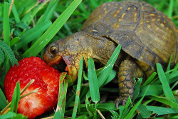candiedxapple   This Turtle looks so incredibly happy. Happy to eat a wonderfully huge strawberry all to itself. It's the small things in life (or the big ones, when it comes to this turtle).   On another note, my left ovary says: FUCK YOU ALL. (but don't take it personally) That is all.