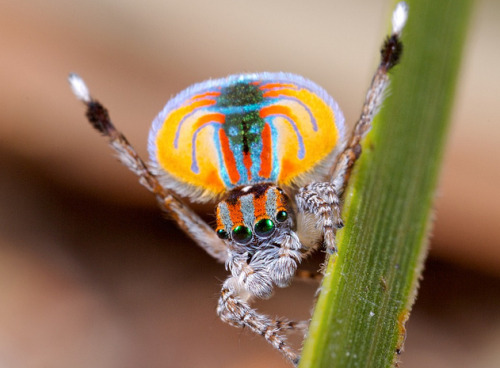 discoverynews:  sciencecenter:  The Australian Peacock Spider. Its mating rituals are just as bizarre as its appearance.  Fabulous video. Watch this.  I was never one for bugs… but now that I've been spending many of my waking hours at the Academy, I've developed a thicker skin and even a bit of a fondness for them. Good timing, since the Academy's highly-anticipated Bug Fest is this weekend! As I was gathering supplies for the activities I created for next week's camp theme: Ancient Animals, I was amid the hustle and bustle of the education department's Bug Fest preparations. It's a crazy-huge event at the Academy, with a TON of fun events for science-lovers of all ages, including insect cuisine. I may or may not have tried my first chocolate chirp cookie… you don't even want to know. Keep questioning,Sara