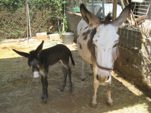 Chica and her baby David (Villa) born last year in the sanctuary during Spain's World cup match against Paraguay. David Villa scored the winning goal so we called the baby David