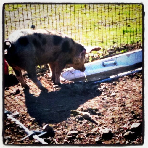 I'm really starting think I should live on a farm. I'd love a pet pig!