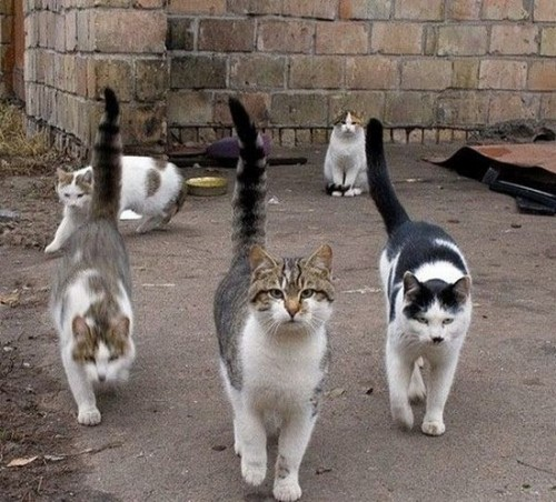 All the earmarks of a cat gang.