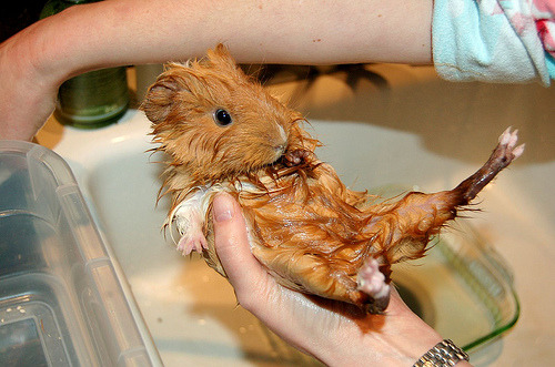 I had no idea that people gave guinea pigs baths. theanimalblog:  Nooooo! Not the belly! (by ilovebutter)