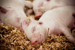 theanimalblog:  Sleepy Sleepy, Little Piggy (by halfgeek)