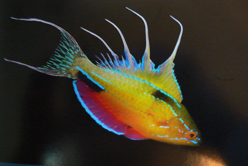 "FLASHER WRASSE (Paracheilinus nursalim) © Gerald Allen/Conservation International Paracheilinus nursalim, was discovered on a Conservation International  Rapid Assessment Program (RAP) expedition in west Papua Indonesia in  2006. The males go through an amazing courtship ritual in which ""electric""  colours are flashed periodically to attract nearby females. The  courtship dance takes place every afternoon, beginning about one hour  before sundown and continuing until dusk.   The modified mouth and lips allow the fish to feed, breathe, and attach  to the substrate through suction; Parental care is usually  well-developed and the male guards the eggs and sometimes the larvae. This species was bid on at the blue auction and is named after the  family of CI Board Member Enki Tan's wife, Cherie Nursalim. The donation  went to the Bird's Head Seascape, a global priority for marine  conservation. Fact Source: Other photos you may enjoy: Commerson Frogfish Bicolor Parrotfish Titan Triggerfish"