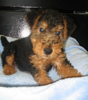 Welsh Terrier…Welshie?