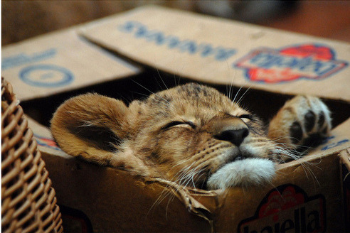 get out of there cat. normal cats don't belong in boxes and baby lions most certainly do not. they don't even have boxes in the jungle and that is where you should be cat.