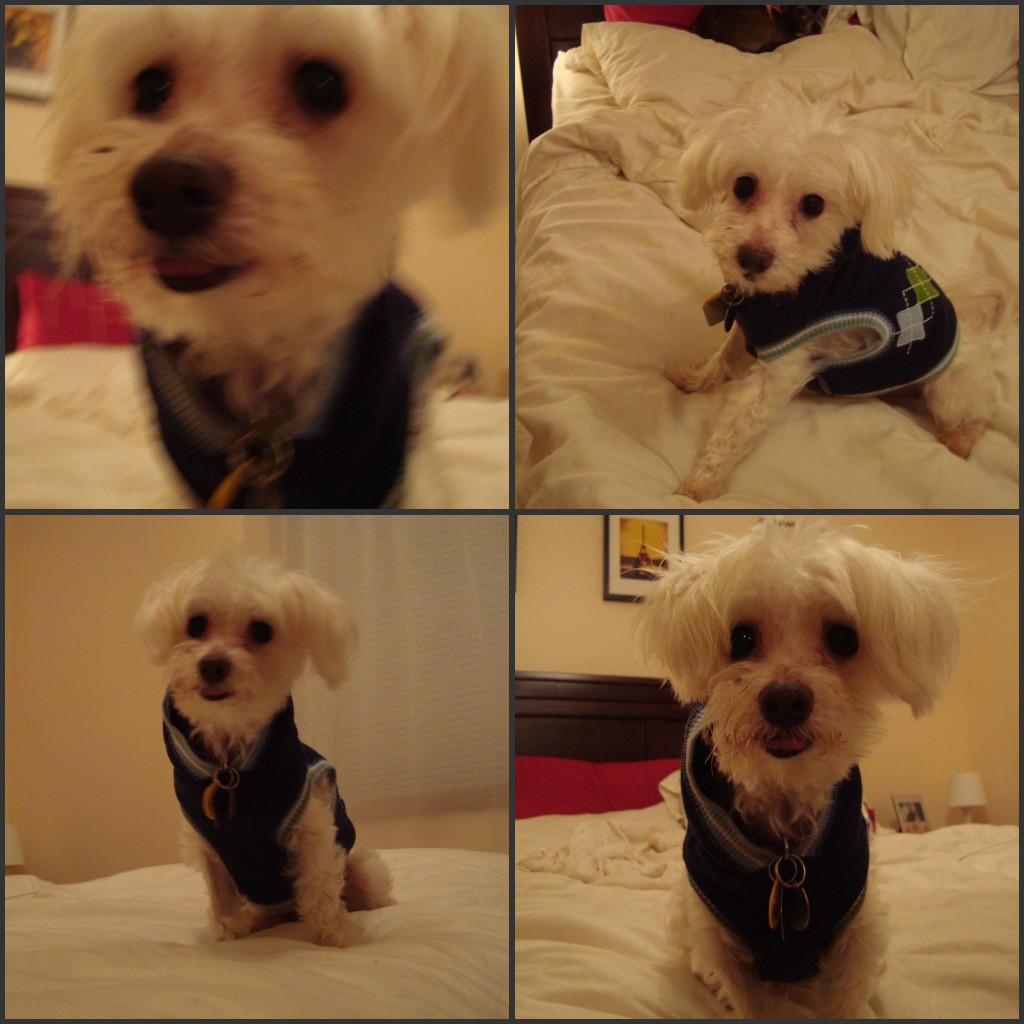 see this cutie?! This is Joey, a 12 year old maltese up for adoption, who I am currently fostering! Please reblog him far and wide… he's located in the Twin Cities :)