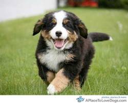 mikepaulrun Bernese puppy happy to see you Original Article