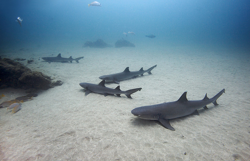 Lemon Sharks! Submitted By: sharks-ahoy.