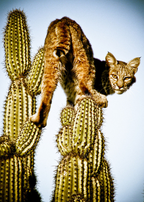Image result for pics growling bobcat cactus