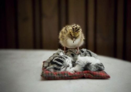 chick on kitten