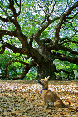 pianoxamerica:  Angel Oak tree on Johns island near Charleston, SC. I found out that this tree is actually estimated at 600 years old! The limbs of the tree are so heavy that parts of the thick branches go under the soil and come right back up. It was like a huge tree octopus with many more limbs. April 18, 2011 10:35 AM