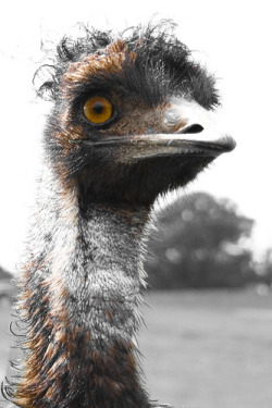 fuckyeahzooanimals:  ostrich - my second favoruate bird (by Adam Foster | Codefor)