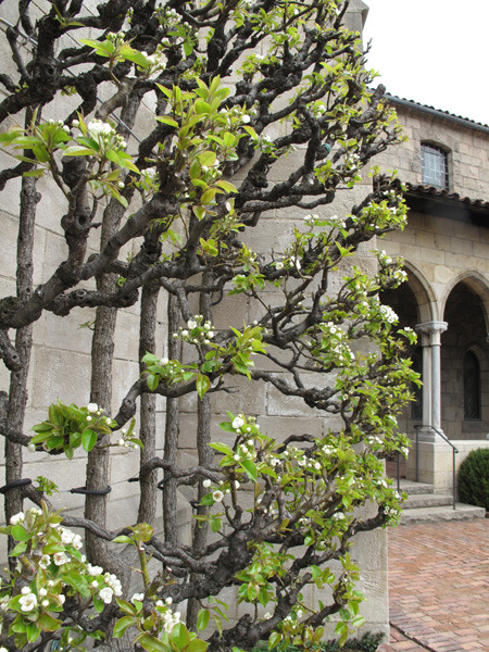 A look at the espaliered pear tree that has grown at the Cloisters since the 1940s. Who knew that this technique was a Renaissance development as opposed to a Medieval one?