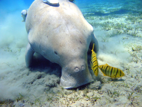 lovefornature:  The dugong is a large marine mammal which, together with the manatees, is one of four living species of the order Sirenia. It is also the only sirenian in its range, which spans the waters of at least 37 countries throughout the Indo-Pacific, though the majority of dugongs live in the northern waters of Australia between Shark Bay and Moreton Bay. The dugong is heavily dependent on seagrasses for subsistence and is thus restricted to the coastal habitats where they grow, with the largest dugong concentrations typically occurring in wide, shallow, protected areas such as bays, mangrove channels and the lee sides of large inshore islands. Its snout is sharply downturned, an adaptation for grazing and uprooting benthic seagrasses. The dugong has been hunted for thousands of years for its meat and oil, although dugong hunting also has great cultural significance throughout its range. The dugong's current distribution is reduced and disjunct, and many populations are close to extinction. The IUCN lists the dugong as a species vulnerable to extinction, while the Convention on International Trade in Endangered Species limits or bans the trade of derived products based on the population involved. Despite being legally protected in many countries throughout their range, the main causes of population decline remain anthropogenic and include hunting, habitat degradation, and fishing-related fatalities. With its long lifespan of 70 years or more, and slow rate of reproduction, the dugong is especially vulnerable to these types of exploitation.Dugongs are also threatened by storms, parasites, and their natural predators, sharks, killer whales, and crocodiles.