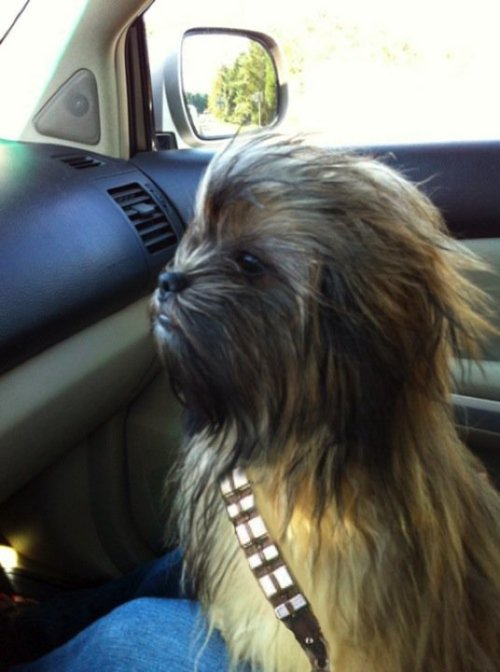 Chewie!!!  egotript:  alannaraben:  chewie the dog.  The coolest little dog in the galaxy!