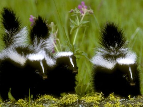 Skunks are legendary for their powerful predator-deterrent—a hard-to-remove, horrible-smelling spray. A skunk's spray is an oily liquid produced by glands under its large tail. To employ this scent bomb, a skunk turns around and blasts its foe with a foul mist that can travel as far as ten feet (three meters). Skunk spray causes no real damage to its victims, but it sure makes them uncomfortable. It can linger for many days and defy attempts to remove it. As a defensive technique, the spray is very effective. Predators typically give skunks a wide berth unless little other food is available. There are many different kinds of skunks. They vary in size (most are house cat-sized) and appear in a variety of striped, spotted, and swirled patterns—but all are a vivid black-and-white that makes them easily identifiable and may alert predators to their pungent potential. Skunks usually nest in burrows constructed by other animals, but they also live in hollow logs or even abandoned buildings. In colder climates, some skunks may sleep in these nests for several weeks of the chilliest season. Each female gives birth to between two and ten young each year. Skunks are opportunistic eaters with a varied diet. They are nocturnal foragers who eat fruit and plants, insects, larvae, worms, eggs, reptiles, small mammals, and even fish. Nearly all skunks live in the Americas, except for the Asian stink badgers that have recently been added to the skunk family. (Photograph by Gordon and Cathy Illg/Animals Animals—Earth Scenes; via National Geographic)