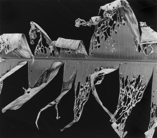 melisaki:  Torn Leaf photo by Brett Weston; Hawaii Portfolio, 1978
