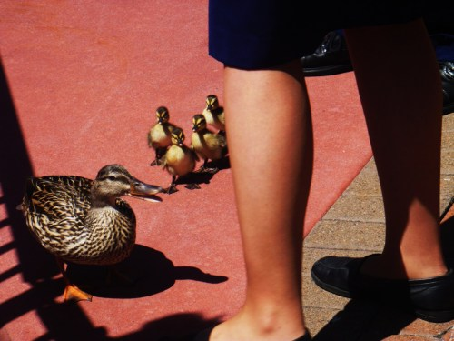 On Sunday, April 17, 2011…A Duck Mother and her ducklings attempted to enter Orlando, Florida's DISNEY WORLD. Her and her family were brutally kicked out.Upon walking out of the gate, they attempted to run back inside and yet were STILL kicked out. ALL she wanted was for her kids to experience the magic and visit their great great uncle Donald Duck! REBLOG IF YOU THINK THIS CONDEMNATION NEEDS TO STOP.