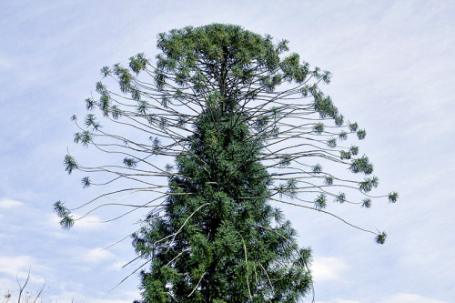 Magnificent Araucaria