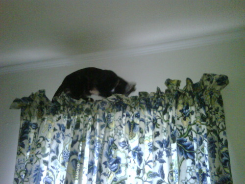 get down from there cat. you are not allowed on top of the curtains. how did you even get up there? and now you are going to jump and probably claw them on your way down and my pretty curtains will be ruined, all because you wanted to jump up on top and look at the wall.   This cat (Sookie) belongs to ceilidh14.