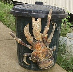 that is the creepyest crab ever! if i saw this with my own eyes i would scream and run away