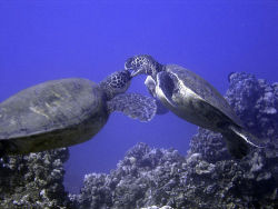 Maui, Hawaii, sea turtles, scuba diving, by Jared Kelly