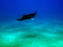 Maui, Hawaii, manta ray, scuba diving, photograph by George Chang