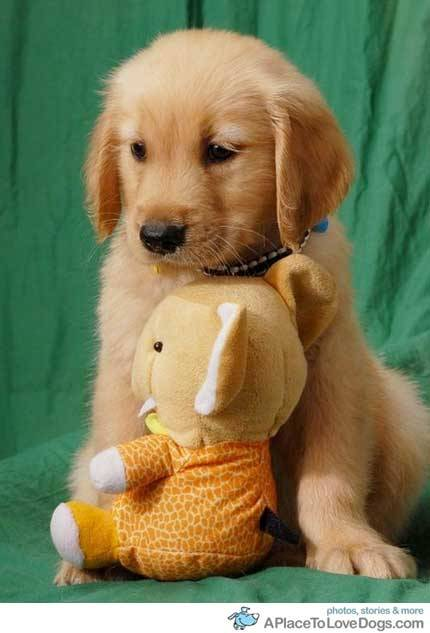 aplacetolovedogs:   topit.me Golden Retriever posing with his stuffed toy Original Article