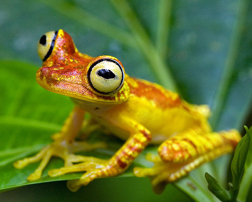 Imbabura Treefrog (Hypsiboas picturatus)  Hypsiboas picturatus is a species of frog in the Hylidae family. It is found in Colombia and Ecuador. Its natural habitats are subtropical or tropical moist lowland forests and rivers. It is threatened by habitat loss.