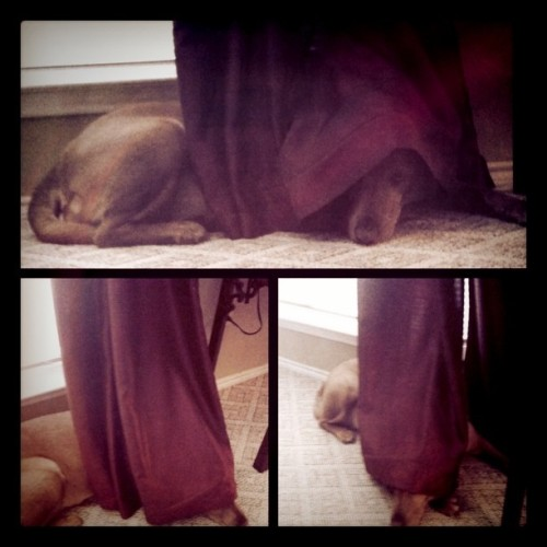 Maggie likes to snuggle under the curtains. (Taken with instagram)