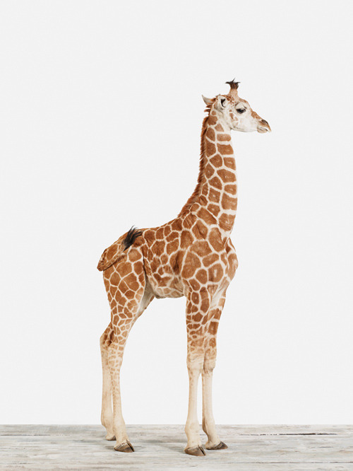 alahae:  ohrkid:  giraffes are cool  i agree
