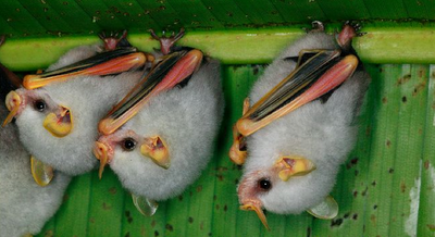 Submitted by teefsteak: Honduran White Bats.