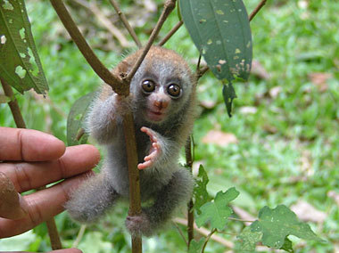this, this is a slow loris yes a slow loris