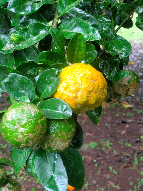Bocas Del Toro, Panama - What real lemons look like