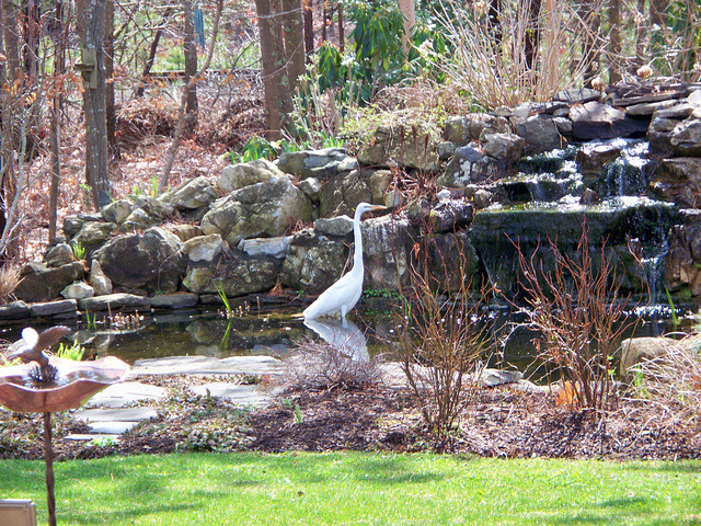 "Great Egret fishing … on Flickr. … for goldfish in my pond. Apparently, my fish are pretty ""wise"" ~ hiding in the roots of the reeds ~ because most of the goldfish ~ especially my big black one ~ are still around!"