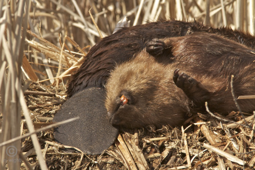 njwight:  Just another Saturday morning… njwight:  A beaver playing possum.