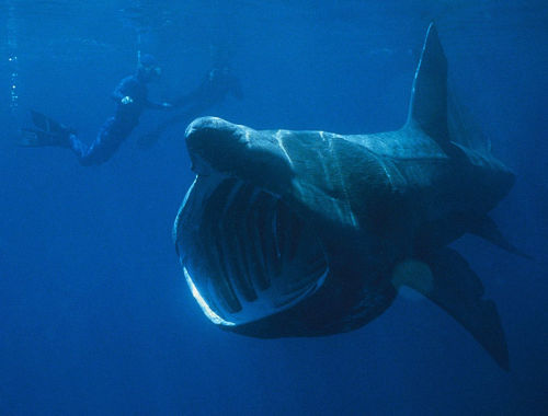rhamphotheca:  The Basking Shark (Cetorhinus maximus) is a massive creature that can grow to 12 meters (40ft). This is the second largest shark in the ocean behind only the Whale Shark, which can grow to almost twice this size! Basking sharks are found in all of the world's oceans and lucky for us and a lot of other fish in the ocean, they are quite harmless. They are filter feeders that swim around slowly with their mouths open filtering zooplankton, small fish and invertebrates… (via: Fish Index)