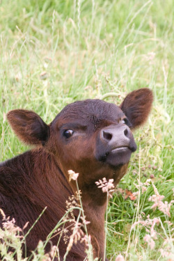 """I discovered this beautiful calf near Giant's Causeway in Ireland. She was modeling so nicely, I just had to take the shot."" Photographed by Adam Dorman"