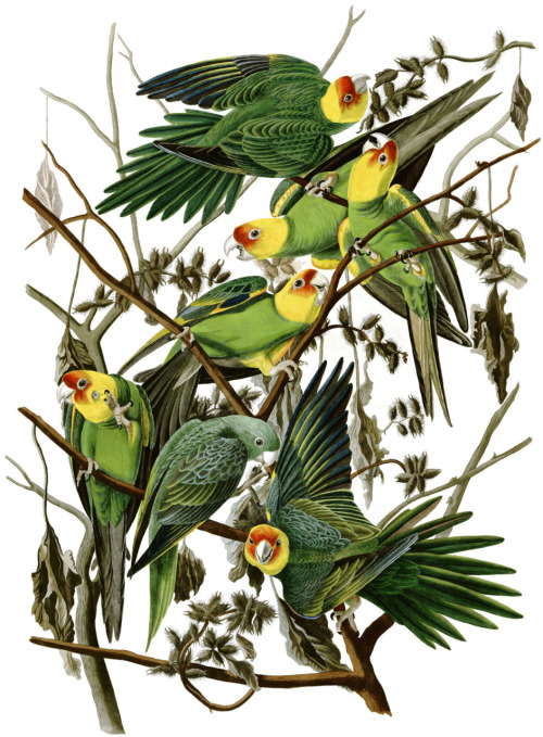 Carolina Parakeets [extinct] by John James Audubon  (via: effingbirds)