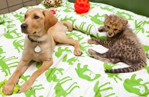 "curmudgeonlaine:  thebigcatblog:  Busch Gardens' Cheetah cub has a new companion! Since the young Cheetah cub is being  hand-raised by keepers, staff decided to pair him with a Labrador puppy  as a playpal to help the animal socialize. Both animals are quite  playful and naturally curious about the other. They have been getting  along wonderfully. While this is Busch Gardens' first puppy / cheetah  pairing, the move is not uncommon at zoos. ""Male cheetahs are social and  often live together in coalitions,"" explained animal curator Tim Smith.  ""This social bond will be a very similar relationship, and they will be  together for life."" Read more. Photo credits: Matt Marriott / Busch Gardens Tampa Bay  I don't know how to express the face I made at this.  I gasped."