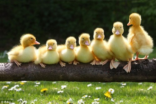 myprettylittlewishlist:  I've always told R that I want a baby duck. Maybe this will sway his mind.